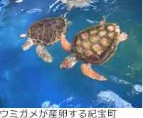 ウミガメが産卵する紀宝町